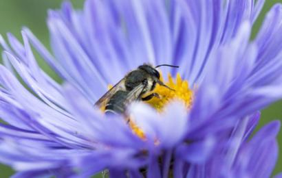 Pas på de flyvende insekter: De er ved at forsvinde