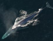 Store flokke af blåhvaler er vendt tilbage til Antarktis og det er gode nyheder for klimaet