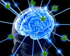Cannabis øger hjernefunktioner ifølge forskning fra Havard Medical School