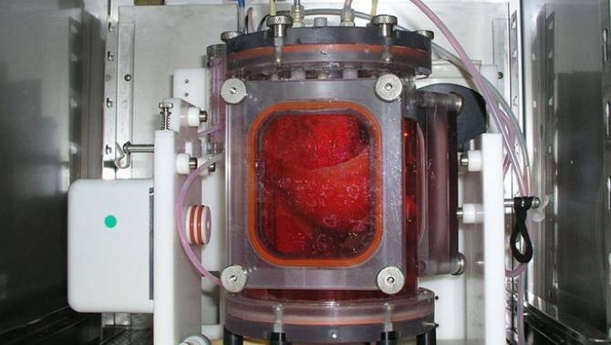Lunger dyrket i laboratorie succesfuldt transplanteret til grise
