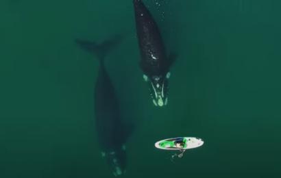 Fantastiske optagelser: Hval skubber blidt kvindelig paddle boarder med sin finne
