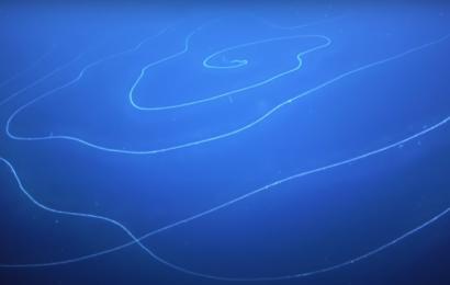 """""""Som en UFO"""": Verdens længste dyr opdaget i dybhavet"""