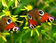 Fra gold græsørken til farverig haveeng – tips til den vilde have