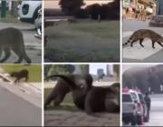 Vilde dyr overtager gaderne under pandemien